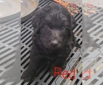 Small #21 Labradoodle