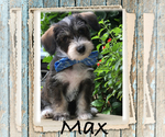 Puppy 4 Maltipoo-Schnoodle (Standard) Mix