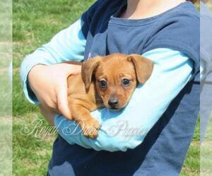 Chiweenie Puppy for sale in LE MARS, IA, USA