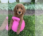 Small #3 Goldendoodle-Poodle (Standard) Mix