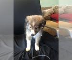 Puppy 1 Shetland Sheepdog