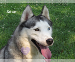 Siberian Husky Dog for Adoption in ELKLAND, Missouri USA