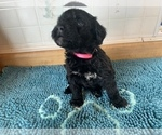 Puppy 4 Portuguese Water Dog