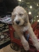 Puppy 6 Poodle (Standard)-Spinone Italiano Mix