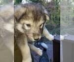 Small #3 Wolf Hybrid