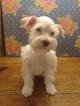 Schnauzer (Miniature) Puppy For Sale in TENAHA, Texas,