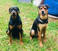 Rotterman Puppy For Sale in HOUSTON, TX, USA