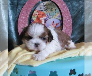 Shih Tzu Dog for Adoption in LE MARS, Iowa USA