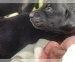 Small #12 Labrador Retriever
