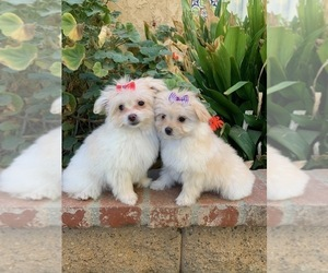 Pom-A-Poo Puppy for Sale in LOS ANGELES, California USA