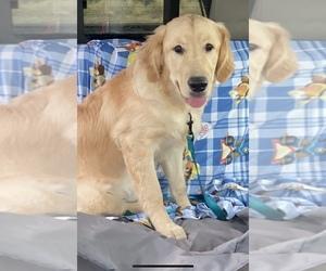 Golden Retriever Puppy for sale in YUBA CITY, CA, USA