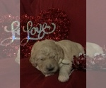 Small #34 Goldendoodle-Poodle (Standard) Mix