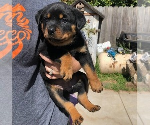 Rottweiler Puppy for Sale in NIPOMO, California USA
