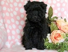 Whoodle Puppy For Sale in NANUET, NY, USA