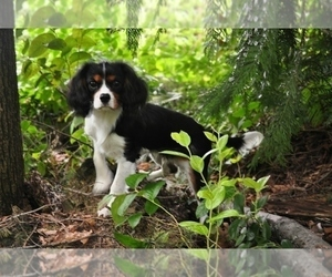 Father of the Cavalier King Charles Spaniel puppies born on 05/28/2019