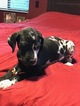 Great Dane Puppy For Sale in SCOTTSDALE, AZ,