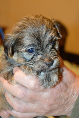 Maltipoo Puppy For Sale in WETUMPKA, AL