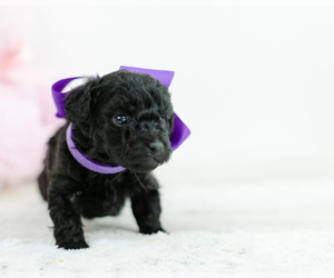 Pomeranian-Poodle (Toy) Mix Puppy for Sale in LITTLE ROCK, Arkansas USA