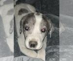 Puppy 11 Great Pyredane