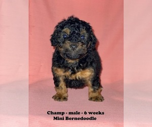 Miniature Bernedoodle Puppy for sale in CLARKRANGE, TN, USA