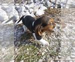 Small #12 Basset Hound