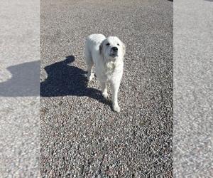 Great Pyrenees Dog for Adoption in RONAN, Montana USA