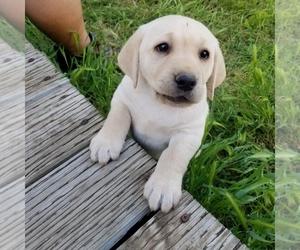 Labrador Retriever Puppy for sale in PASO ROBLES, CA, USA