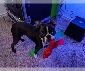 Boston Terrier Puppy for sale in ARLINGTON, TX, USA