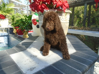 Poodle (Standard) Puppy for sale in SPRING HILL, FL, USA