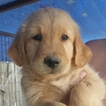 Golden Retriever Puppy For Sale in ALBUQUERQUE, NM, USA