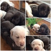 Labrador Retriever Puppy For Sale in PORTLAND, TN, USA
