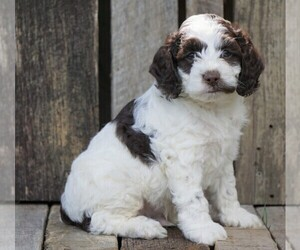 Cocker Spaniel-Poodle (Miniature) Mix Puppy for sale in FREDERICKSBG, OH, USA