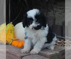 Australian Shepherd-Poodle (Miniature) Mix Puppy for sale in STRASBURG, PA, USA
