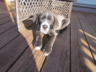 Puppy 3 Labrador Retriever-Saint Bernard Mix