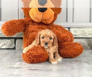 Cavapoo Dog for Adoption in CLEVELAND, North Carolina USA