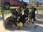 German Shepherd Dog Puppy For Sale in FONTANA, CA, USA