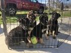 German Shepherd Dog Puppy For Sale in FONTANA, CA, USA