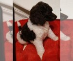 Poodle (Standard) Puppy For Sale in MARION, TX, USA