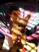 Yorkshire Terrier Puppy For Sale in CARSON, CA