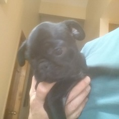 Pug Puppy For Sale in GOLDEN, CO, USA