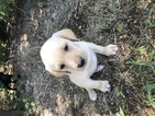 Labrador Retriever Puppy For Sale in BYRON, NE, USA