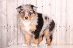 Australian Shepherd Puppy For Sale in MOUNT VERNON, Ohio,