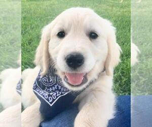 English Cream Golden Retriever Puppy for Sale in SPANISH FORK, Utah USA