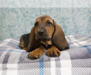 Basset Hound Puppy for Sale in PETERSBURG, Indiana USA