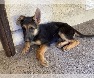 German Shepherd Dog Puppy for sale in ANTELOPE, CA, USA