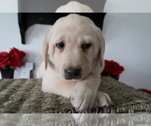 Labrador Retriever Puppy for sale in KALAMAZOO, MI, USA