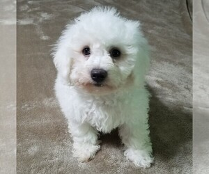 Bichon Frise Puppy for Sale in STAFFORD SPRINGS, Connecticut USA