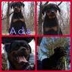 AKC German Rottweiler Puppies Ready to go