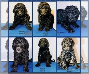 Goldendoodle-Poodle (Standard) Mix Puppy for sale in WINDSOR, VA, USA