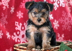 Yorkshire Terrier Puppy For Sale in MOUNT JOY, PA,
